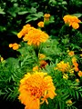Marigold flower2021.jpg