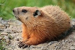 Marmota monax UL 04
