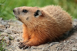 Groundhog Species of mammal (rodent of the marmots)