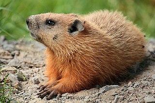 Groundhog species of mammal