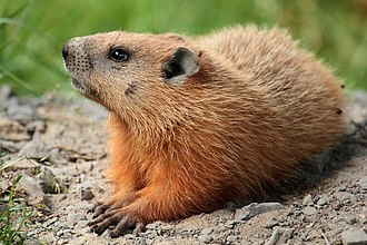 Groundhog - at Laval University campus, Quebec, Canada