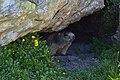 Marmotta (19667240871).jpg