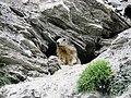 Marmotta nel parco del Gran Bosco di Salbertrand.jpg