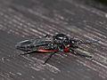Marsh fly (Bibionidae) ♀, indet. from the High Tatras (7621421688).jpg