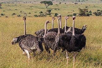 Ratite - Image: Masai Ostriches Benh