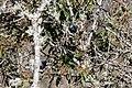 Masked Flowerpiercer (Diglossa cyanea) (4856411703).jpg