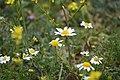 Matricaria Chamomilla Flowers.jpg