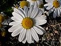 Matricaria maritima flowering head (3622708282).jpg