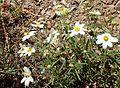 Melampodium leucanthum kz2.jpg