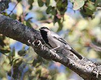 Melaniparus griseiventris, oog van Cuitorivier, Birding Weto, a.jpg