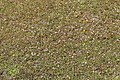 Meppen - Borkener Paradies + Erodium cicutarium 01 ies.jpg