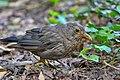 Merlo (Turdus merula) - Common blackbird, Bareggio, Italia, 08.2018 (4).jpg