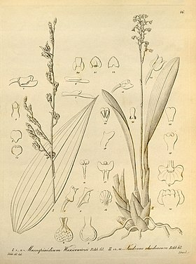 Mesospinidium warscewiczii and Cyrtochilum rhodoneurum (as Neodryas rhodoneura) - Xenia vol 1 pl 16 (1858).jpg