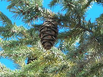 Pseudotsuga lindleyana - Mexican Douglas-fir branch with cones