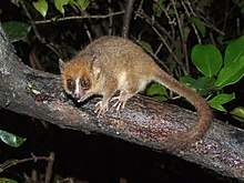 Mouse lemur perched on branch