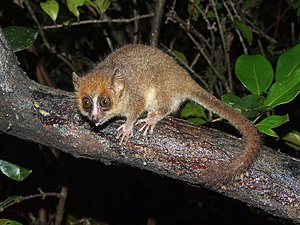 Pygmy mouse lemur - Image: Microcebus myoxinus
