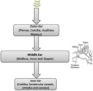 Neuronal encoding of sound - Flowchart of sound passage - middle ear