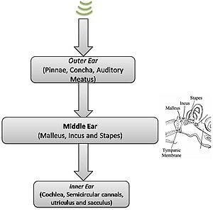 Neuronal encoding of sound - Flowchart of sound passage - middle ear