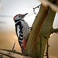 Middle spotted woodpecker (25379945836).jpg