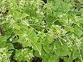 Mirabilis longiflora5.jpg
