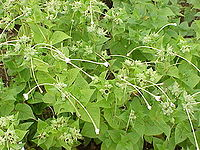 Mirabilis longiflora5