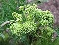 Molopospermum peloponnesiacum -比利時 Ghent University Botanical Garden, Belgium- (9222650192).jpg