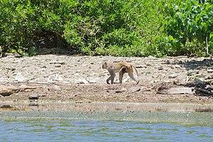 Cayo Santiago - A monkey walks on the beach of Cayo Santiago.