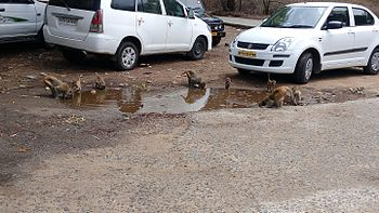 Monkeys having leisure time, Panchmarhi.jpg