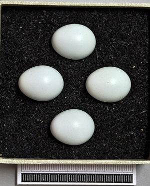 Common rock thrush - Eggs, Collection Museum Wiesbaden