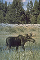 Moose Yellowstone.jpg