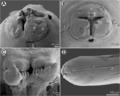 Moravec & Justine - Euterranova n. gen. and Neoterranova n. gen - parasite200141-fig5.png