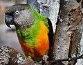 Morhuvad papegoja.JPG