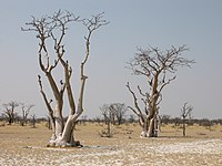 Moringabäume Sprokieswoud Etosha.jpg