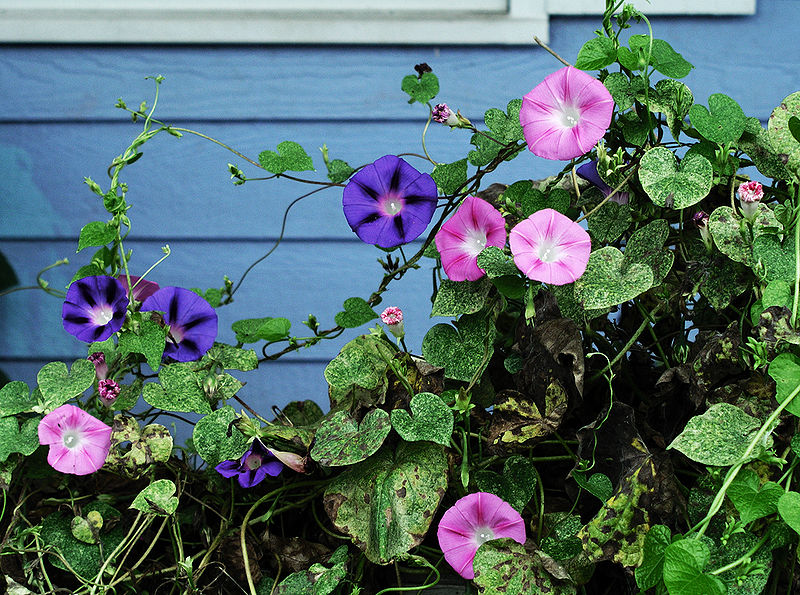 File:MorningGlories-Tonsofem.jpg