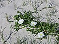 Morning glory at the beach flowering white flowers.jpg