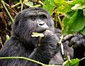Mountain Gorilla, Bwindi, Uganda (15453706611).jpg