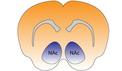 Mouse Nucleus Accumbens.pdf