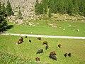 Mucche e camosci Valnontey.jpg