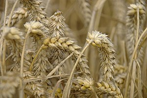 English: Grain, wheat ears in our holiday picn...