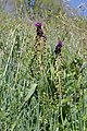 Muscari comosum 01 Dordogne.jpg