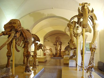 A display of proboscideans in the Museo di Storia Naturale di Firenze, or the Natural History Museum of Florence Museo di Storia Naturale di Firenze - paleontology.JPG