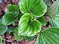 Myosotidium hortensia buds - Flickr - peganum (1).jpg