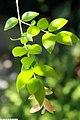 Myrciaria cauliflora 19zz.jpg