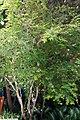 Myrciaria cauliflora 20zz.jpg