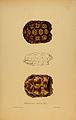 N104 Sowerby & Lear 1872 (testudo signata).jpg