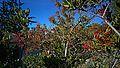 N20141105-0002—Heteromeles arbutifolia (15108091064).jpg