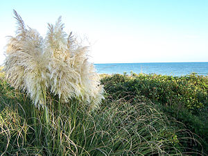 Satellite Beach, Florida - Sea oats