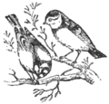 NSRW Blue Titmouse, Male and Female.png