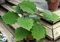 Naranjillaplant.jpg