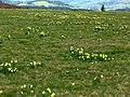 Narcis plateau l'artense 1.jpg